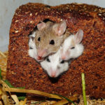 hamsters-in-loaf-of-bread