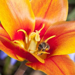 bee-on-orange-tulip