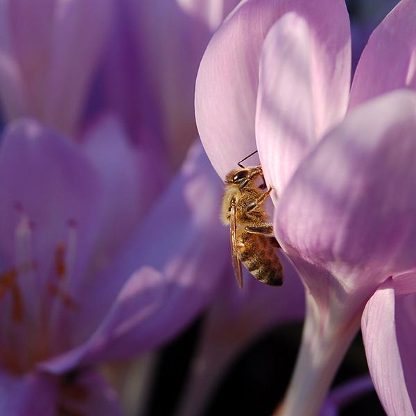 bee-on-purple-crocus