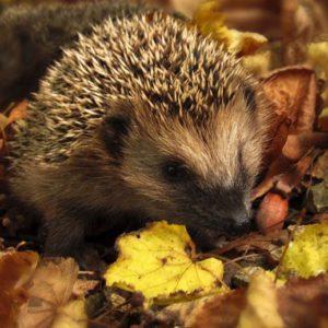 Hedgehog in fall leaves