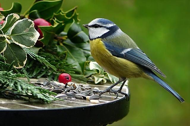 Great tit on feeding table