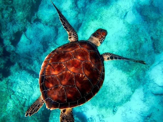 Turtle swimming in turqoise waters
